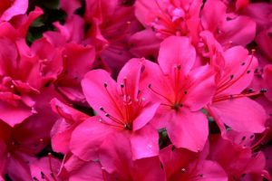 Top 55 Beautiful Pink Flowers For Your Garden