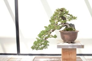 Meaning and Symbolism Behind Common Bonsai Trees