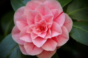 Camellia Flower Meaning and Symbolism