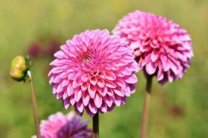 Dahlia Flower Meaning and Symbolism