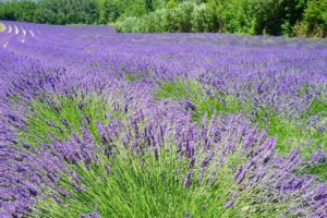 Lavender Flower Meaning and Symbolism