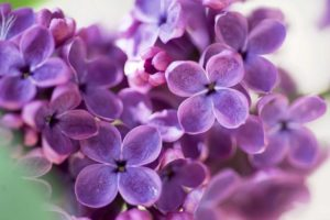 Lilac Flower Meaning and Symbolism