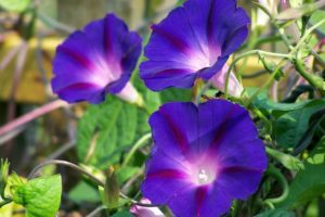 Morning Glory Flower Meaning and Symbolism