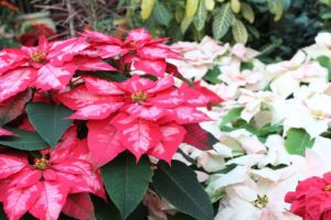 Poinsettia Flower Meaning and Symbolism