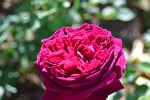 The Enchanting Purple Rose: History and Meanings