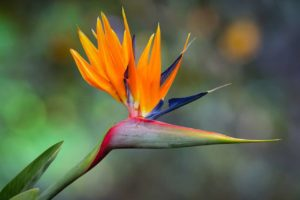 Bird Of Paradise Flower Meaning And Symbolism