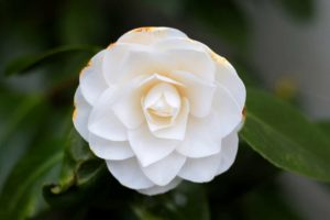 Top 52 Amazing White Flowers You Can Grow in Your Garden