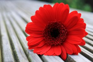 Top 56 Types of Beautiful Red Flowering Plants