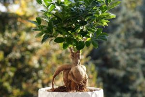 Ginseng Ficus Microcarpa Bonsai: How to Grow and Plant Care