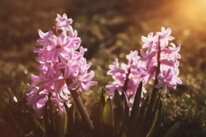 Hyacinth Flower Meaning and Symbolism
