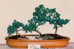 Juniper Bonsai Tree: Types, How To Grow and Plant Care