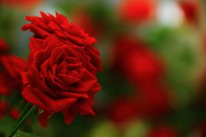 Red Roses Meaning, Symbolism and Varieties You Can Grow