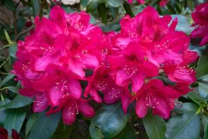 Rhododendron Flower Meaning and Symbolism