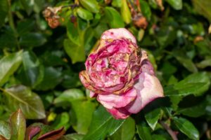 Black Spot and Other Common Rose Diseases and Pests Every Gardener Should Know