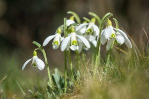 Snowdrop Flower (Galanthus) Meaning and Symbolism