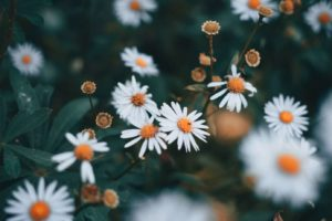 Types of Daisies: A Comprehensive Guide