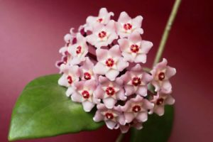 Waxflower Plant Types, How to Grow and Plant Care