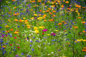 Top 21 Types of Wildflowers You Can Grow