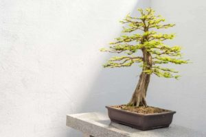 64 Popular Types of Bonsai Trees You Can Grow