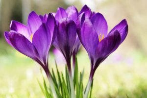 60 Best Types of Purple Flowering Plants You Should Know