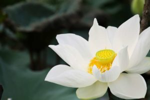 Lotus Flower: Different Types, How to Grow and Plant Care