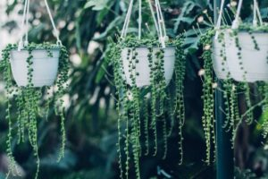 Top 32 Amazing Looking Cacti and Succulents That Hang or Trail
