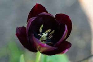 Top 27 Fascinating Black and Very Dark Flowers For Your Garden