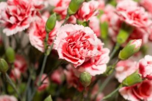 Carnation Flower Meaning and Symbolism
