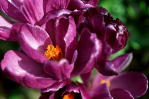 Crocus Flower Meaning And Symbolism