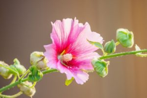 Hollyhock Flower Meaning and Symbolism