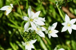 Star of Bethlehem (Ornithogalum Plant): Types, How to Grow and Plant Care