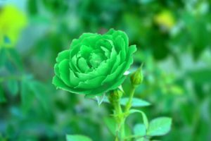 The Peculiar Green Roses: Different Types and Pictures