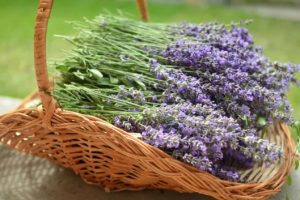 Lavender: Flower Varieties, How To Grow & Plant Care